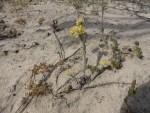 Sand Sunray P1180175