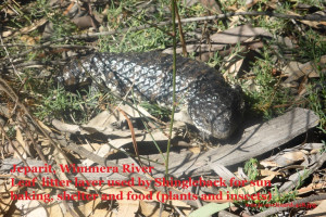 Shingleback lizard using river bank  soil